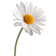 بذر گل مارگریت ( 1 گرمی )